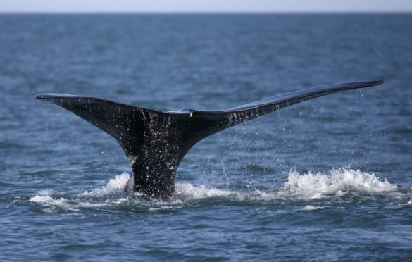 FILE - In this March 28, 2018, file photo, a North Atlantic right whale appears at the surface of Cape Cod bay off the coast of Plymouth, Mass. The Canadian government says it is taking steps to protect endangered North Atlantic right whales from encounters with fishing vessels. The whales are one of the rarest marine mammals in the world, and have struggled with high mortality in recent years, especially in Canadian waters. (AP Photo/Michael Dwyer, File)